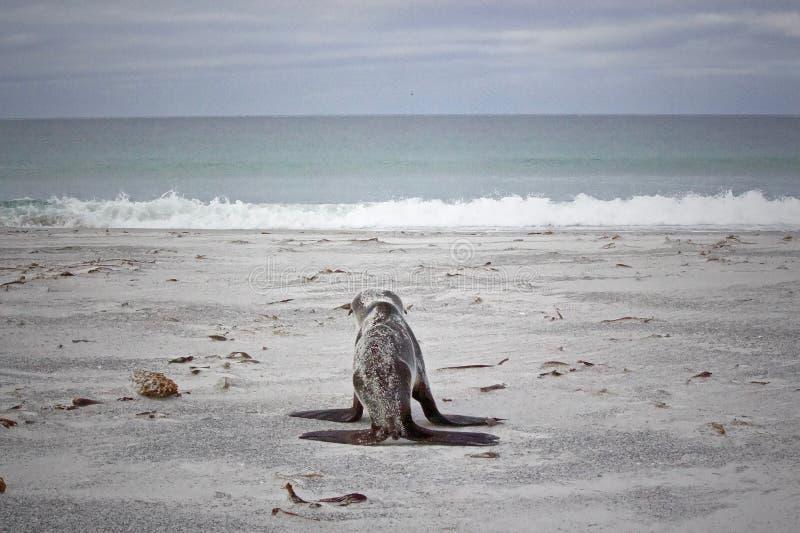 Seehundbaby, das dem Meer sich nähert stockfoto