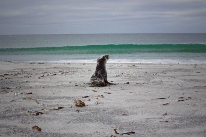 Seehundbaby, das dem Meer sich nähert stockbild