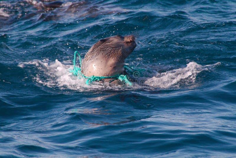 Seehundbaby, das in weggeworfenem Seil einschnürt stockfotografie