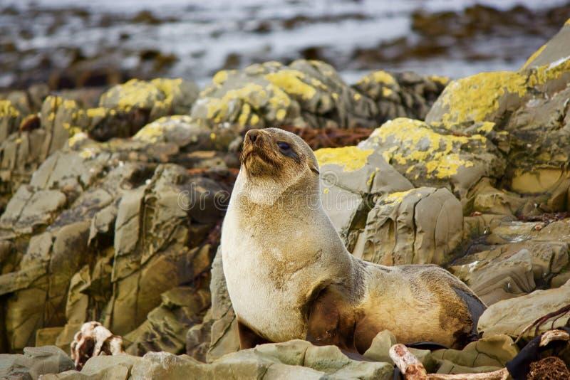 Seehundbabyalarm lizenzfreie stockbilder