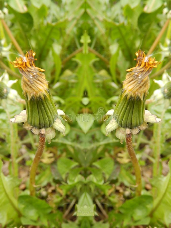 Seeing double wilted flower buds. Mirror image wilted flower buds royalty free stock photography