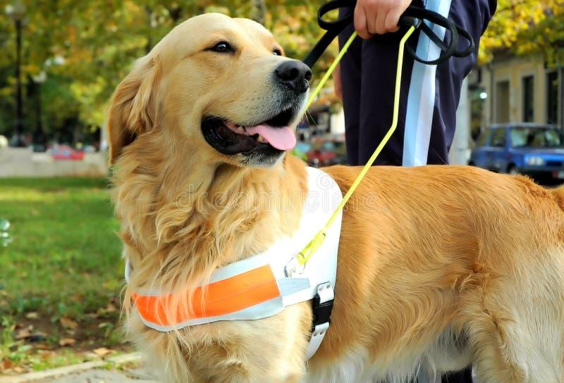 Seeing Eye Dog Royalty Free Stock Photo
