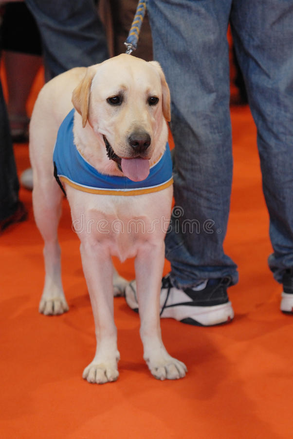 Download Seeing eye dog stock image. Image of intelligent, trained - 17479823