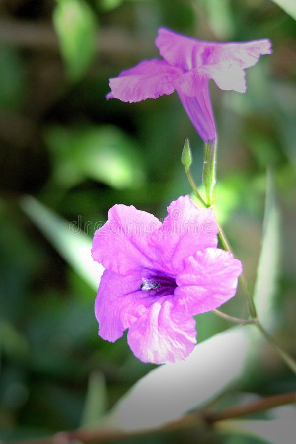Morning Flower. Seeing the purple flower looks beautiful and has been showered by morning sun. Look at the bee enjoying the essence of it. So lovely picture. It royalty free stock photo