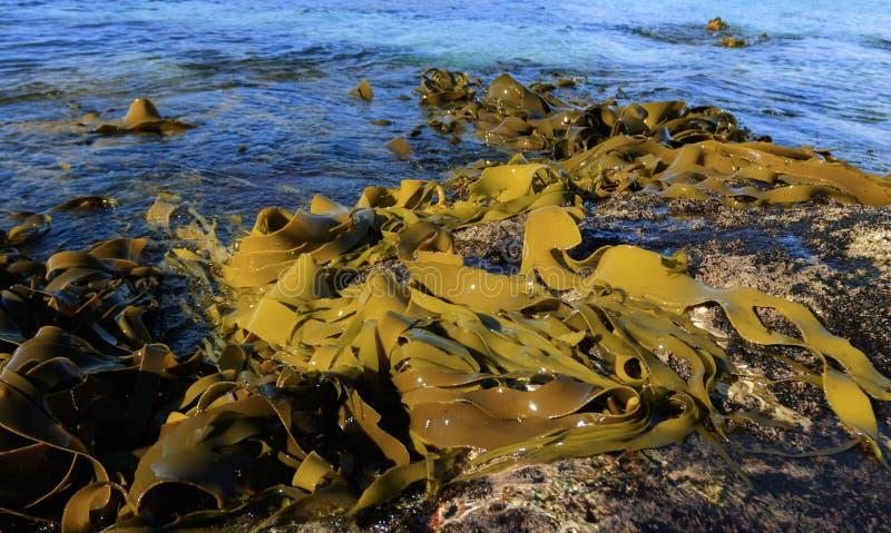Seekelp gewaschen auf Felsen auf Tasmanien-Ostküste lizenzfreie stockbilder