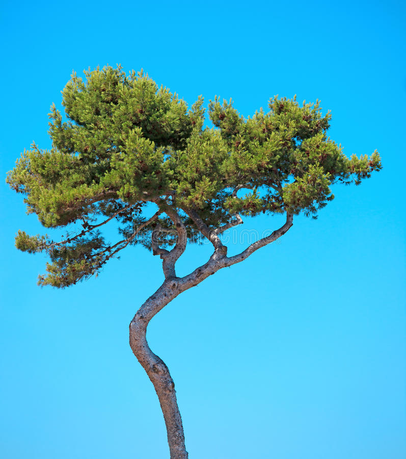 Seekiefer gebogener Baum auf blauem Himmel. Provence lizenzfreie stockbilder