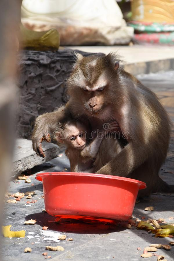 Seeking for food. The mother monkey and her baby was seeking for some food. The temperature was hot and there was no water stock photos