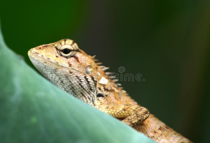Seeking for a victims. Iguana, wildlife, forest, reptile, lizard stock photos