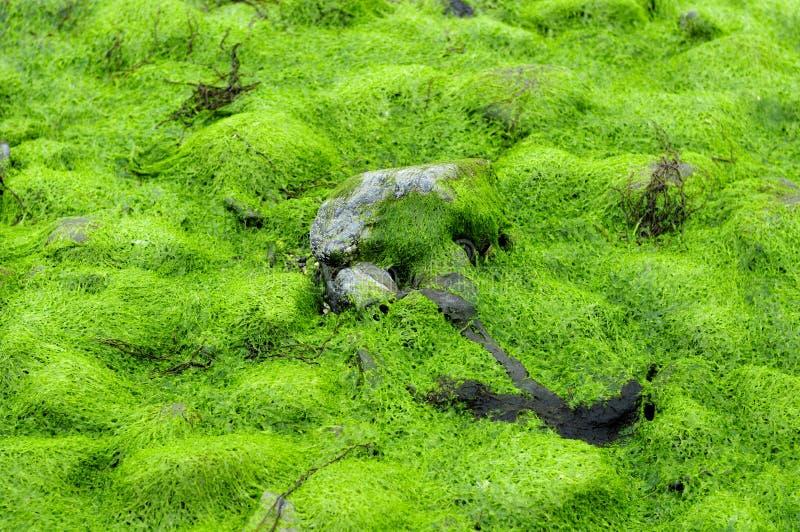 Seekopfsalat-Algen lizenzfreies stockbild