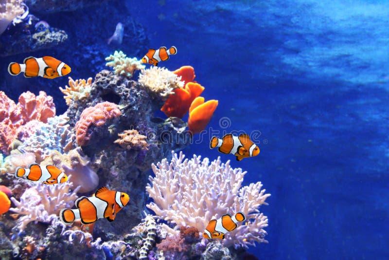 Seekorallen und Clownfische lizenzfreie stockbilder