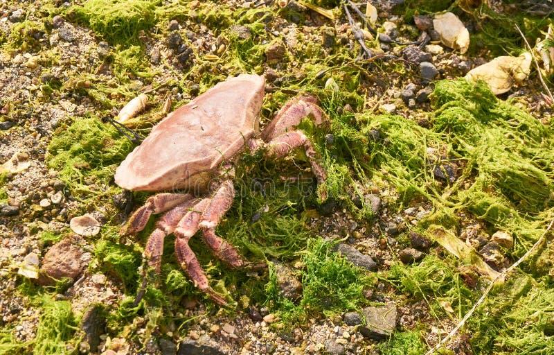 Seekrabbe auf dem Strand, um die grüne Meerespflanze stockfotografie