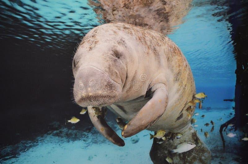 Seekuh, die unter Wasser schwimmt lizenzfreie stockbilder