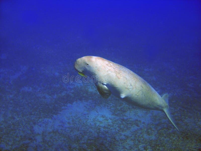 Seekuh (Dugong dugong) lizenzfreie stockbilder