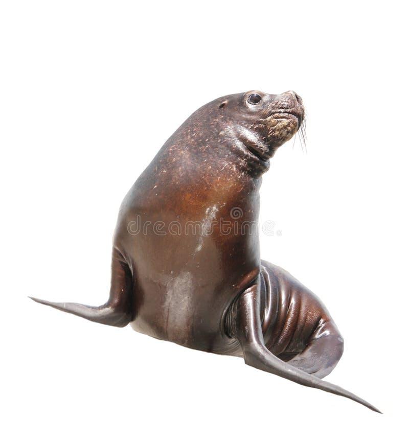 Seelöwe über Weiß stockfotos