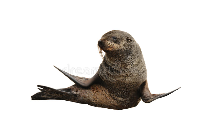 Seelöwe stockfotografie