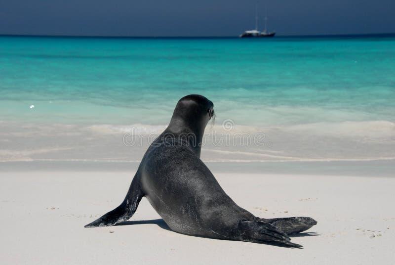 Seelöwe stockbilder