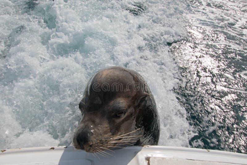 Seelöwe auf der Rückseite des Fischerbootes der Charter bitten um Köderfisch in Cabo San Lucas Baja Mexiko lizenzfreies stockbild