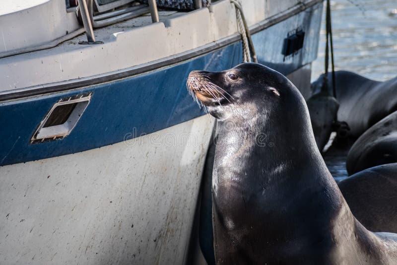 Seelöwe, der auf einem Dock nah an einem Boot, seinen Pelz in trocknend stationiert stockfoto