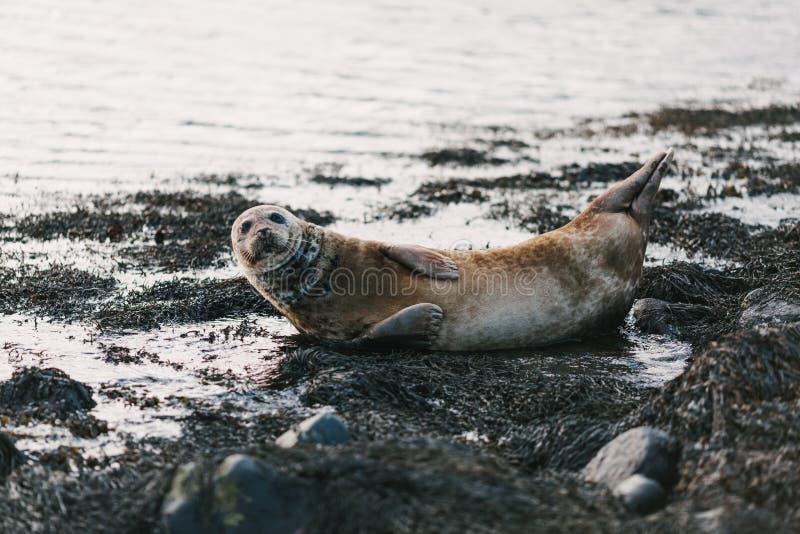 Seelöwe, der auf Küste mit Felsen und Meerespflanzen im ytri liegt lizenzfreie stockfotos