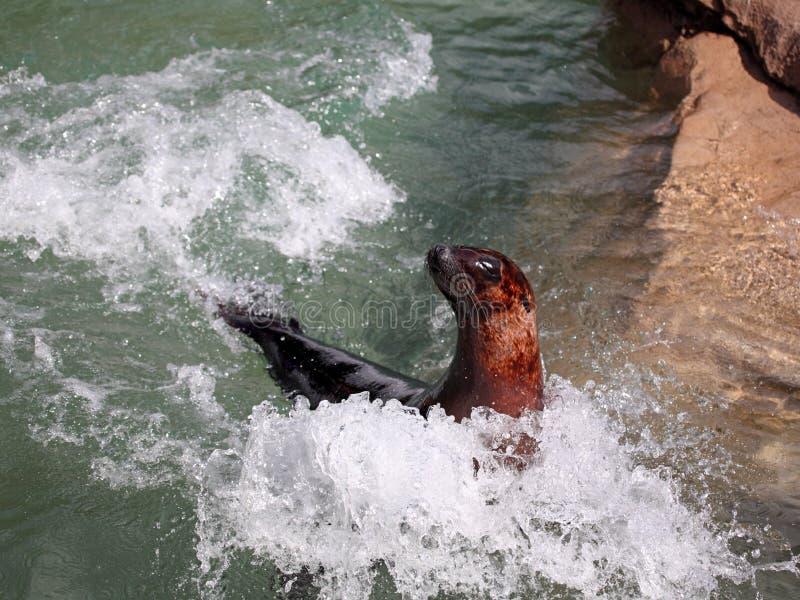Seelöwe in der Bewegung stockfotografie