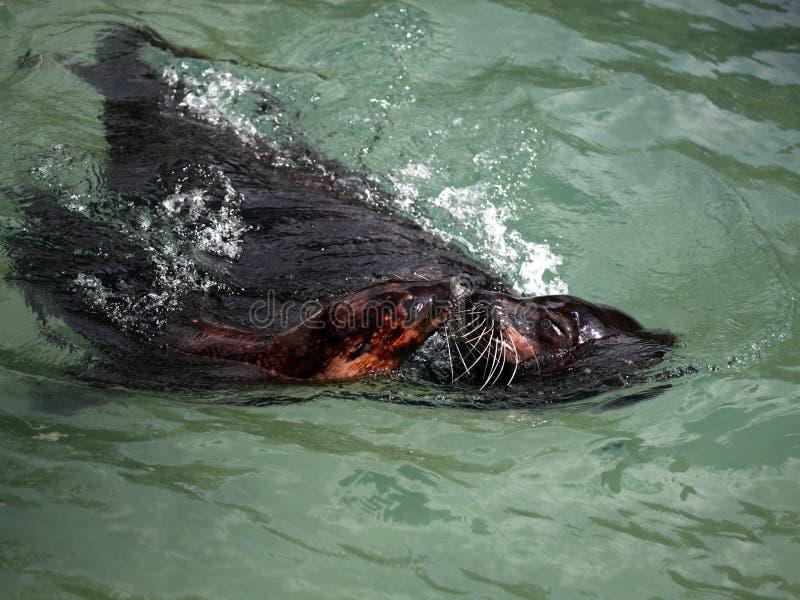 Seelöwe in der Bewegung lizenzfreie stockfotos