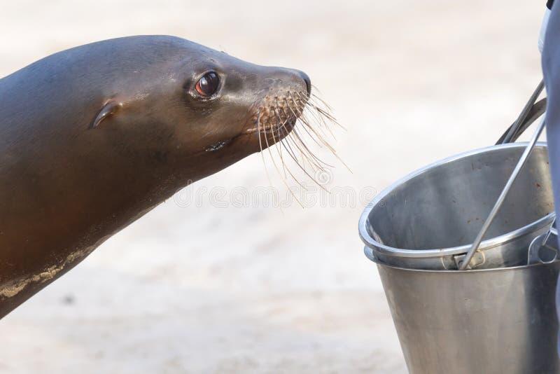 Seelöwe, der um einen Fisch bittet stockfotografie