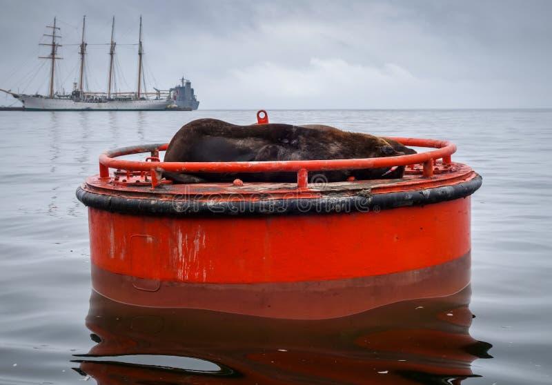 Seelöwe in Valparaiso-Hafen stockfotografie