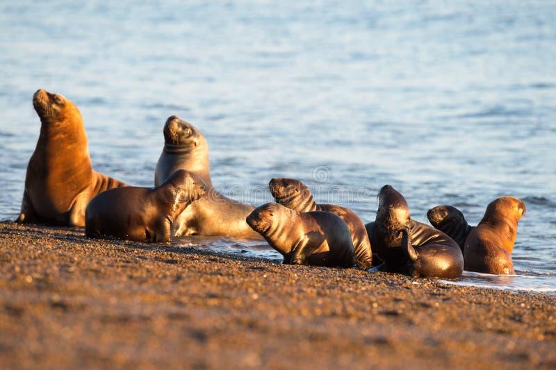 Seelöwefamilie auf dem Strand im Patagonia stockfoto