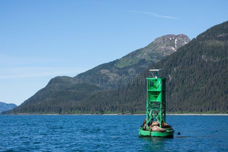 Seelöwen in Alaskas Prinzen William Sound lizenzfreie stockfotos