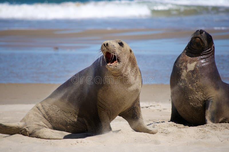 Seelöwen auf dem Strand lizenzfreie stockfotos
