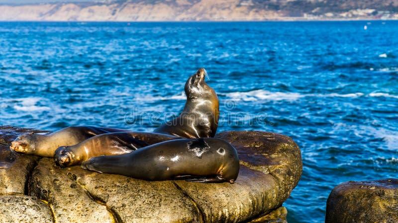 Seelöwen, die auf Klippen, nahe La- Jollastrand, San Diego stillstehen USA stockfotografie