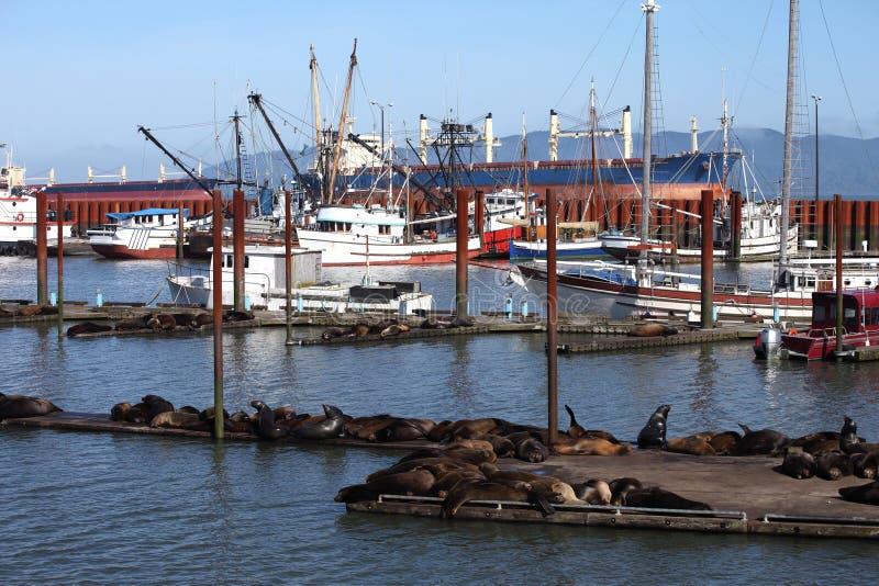 Seelöwen, die an einem Jachthafen in Astoria Oregon sich aalen. stockbild