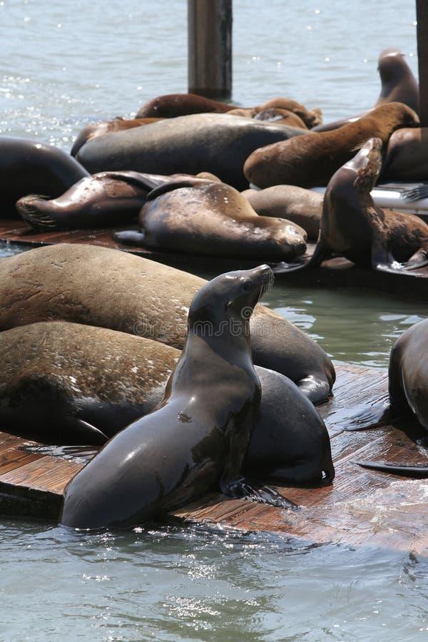 Seelöwen San Francisco lizenzfreie stockfotografie