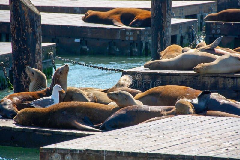Seelöwen, San Francisco 3, USA lizenzfreies stockbild