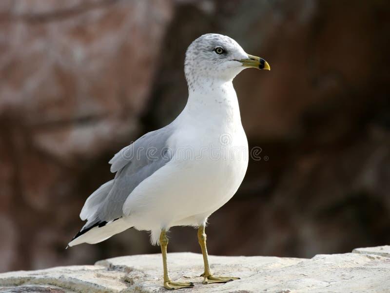 Seemöve-Vogeluferozean lizenzfreie stockfotos