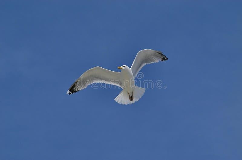 Download Seemöwe stockbild. Bild von weiß, augen, fliege, flug, schnabel - 45261