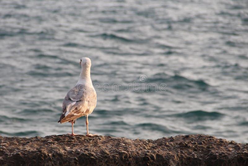 Seemöwe auf dem blauen Meer untersucht den Abstand lizenzfreie stockbilder