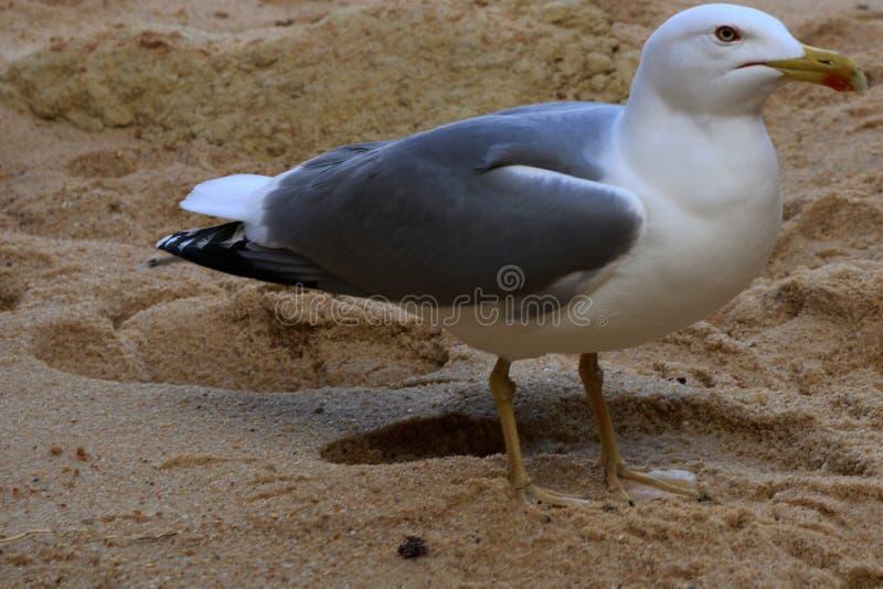 Seemöwe auf dem Strand lizenzfreie stockfotografie