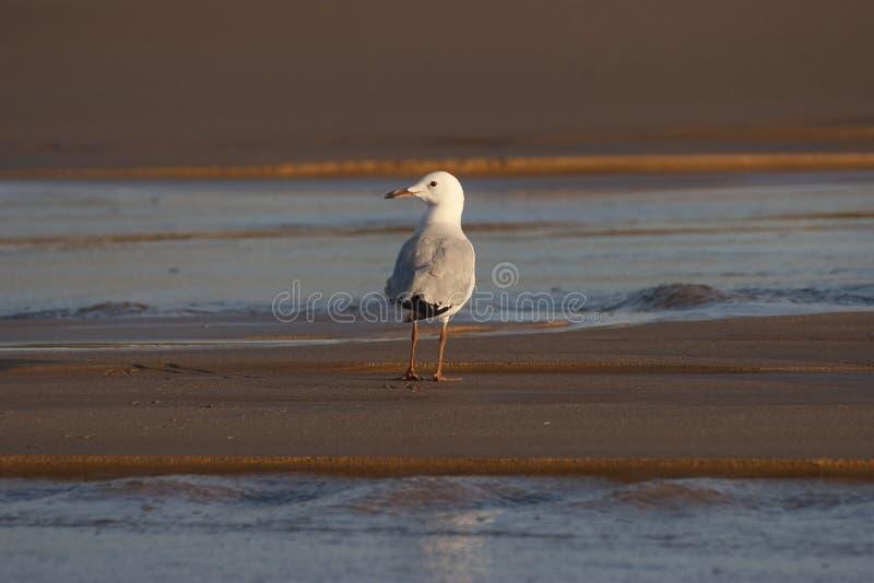 Seemöwe auf dem Strand stockfotos