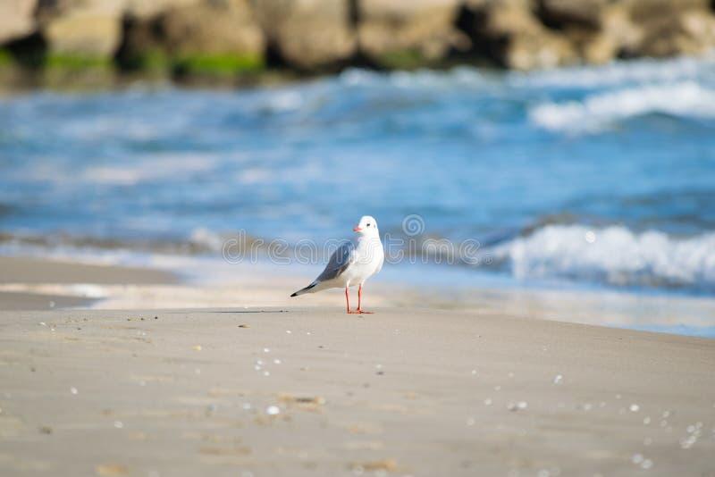 Seemöwe auf dem Strand, blaues Meer stockbild