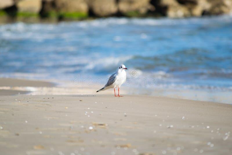 Seemöwe auf dem Strand, blaues Meer stockfotografie