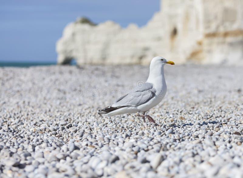 Seemöwe auf dem Strand in Normandie lizenzfreies stockbild