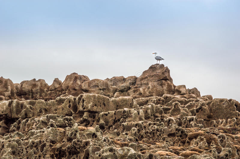 Seemöwe auf den Felsenpools lizenzfreie stockbilder