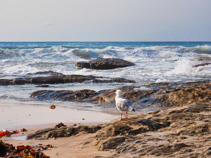 Seemöwe auf Felsen schwere Meereswogen, Sydney, Australien aufpassend stockbilder