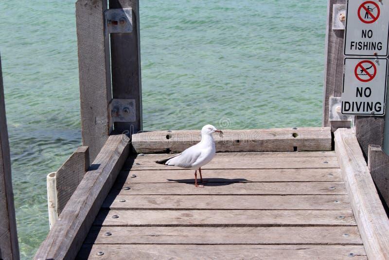 Download Seemöwe Auf Fischen-Anlegestelle Augusta Westaustralien Stockbild - Bild von anlegestelle, hölzern: 27734997
