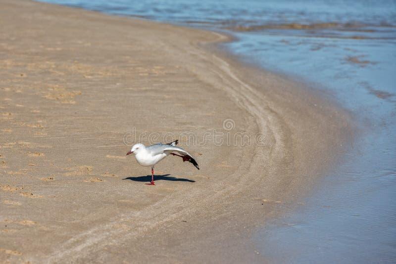 Seemöwe auf Haifischbuchtstrand lizenzfreies stockbild
