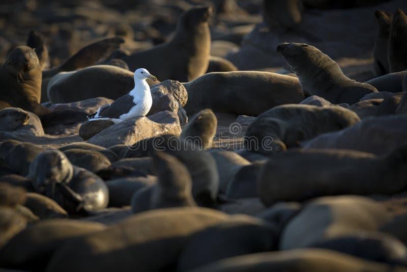 Seemöwe auf Kap-Kreuz-Robbenkolonie, Namibia stockfotos