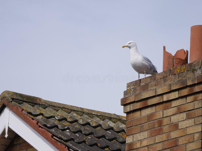 Seemöwe auf mit Ziegeln gedecktem Dach des Hauses, nahe bei defektem Kamin lizenzfreie stockfotografie