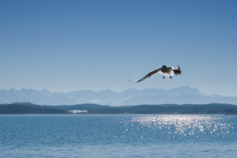 Seemöwe auf See Starnberger sehen in Bayern stockbilder
