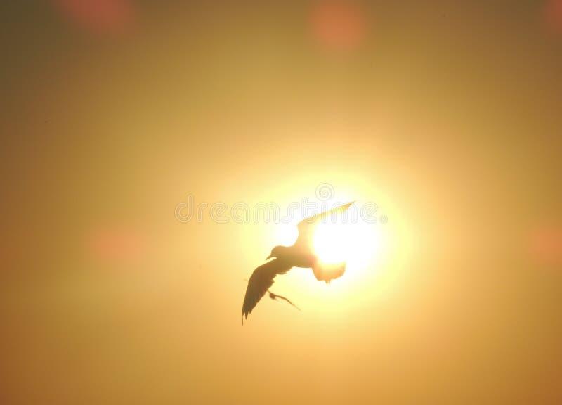 Seemöwe auf Sonnenunterganghintergrund stockbild